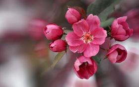 Картинка макро, весна, яблоня, бутоны