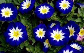 Обои Синие, белые, цветы