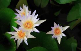 Картинка цветы, лилии, белые, кувшинки