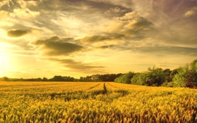 Обои пшеница, поле, золото