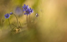 Обои природа, фиалки, цветы