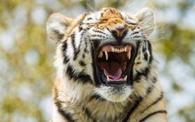 Картинка морда, пасть, амурский, тигр, тигрёнок, кошка