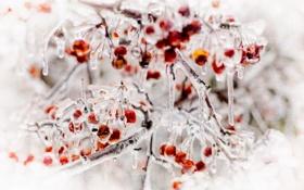 Обои природа, лёд, ягоды