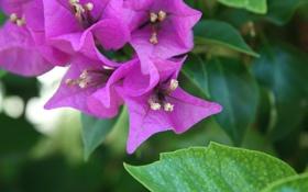 Обои цветок, яркий, лист, пурпурный