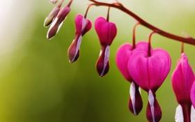 Обои цветочек, wallp, розовый, цветок, разбитое сердце, фон, широкоформатные