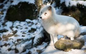 Картинка песец, полярная лисица, Arctic Fox
