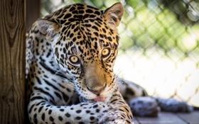 Обои язык, глаза, морда, хищник, лапы, ягуар, дикая кошка