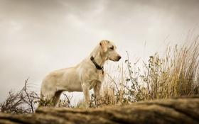 Обои фон, трава, собака