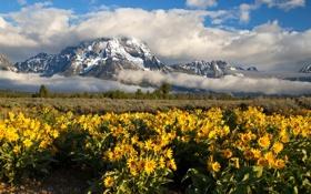 Обои цветы, горы, Grand Teton National Park