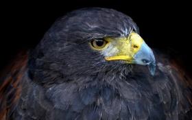 Обои глаза, орел, хищник, клюв
