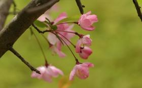 Картинка весна, розовые, цветение, зелень, лепестки, веточка, дерево