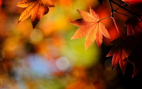 Обои осень, природа, лист, leaf, japanese, maple
