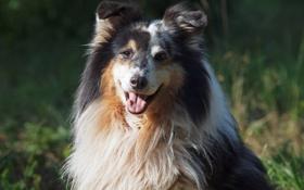 Обои пёс, морда, шелти, взгляд, собака