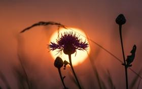 Обои цветок, небо, солнце, закат, растение, силуэт, сорняк