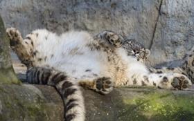 Картинка ©Tambako The Jaguar, камень, снежный барс, ирбис, отдых, кошка