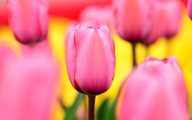 Картинка поле, природа, лепестки, сад, тюльпаны