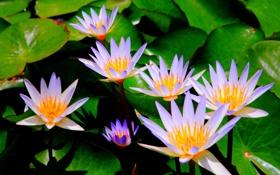 Обои цветы, оранжевые, водоем, сиреневые, кувшинки, лисьтя