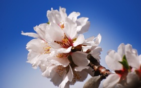 Картинка цветы, природа, ветка, лепестки, яблоня, цветение, nature