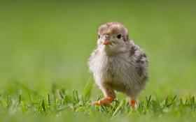 Обои трава, прогулка, птенец, цыплёнок