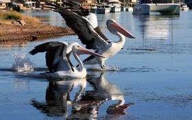 Картинка вода, птица, крылья, клюв, пеликан