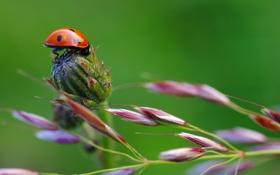 Обои природа, растение, божья коровка, стебель, насекомое