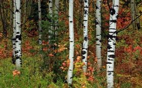 Обои осень, лес, листья, деревья, ель, роща, осина
