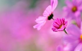 Обои космос, макро, цветы, розовые, космея