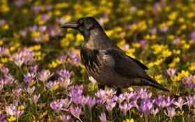 Картинка цветы, птица, весна, крокусы, ворона