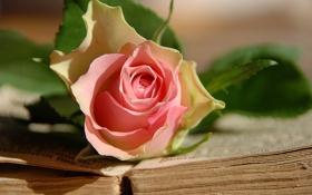 Обои роза, цветок, книга