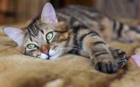 Картинка кошка, животные, кот, лижит, котофей