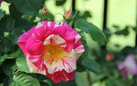 Обои роза, желто-розовая, цветение, бутон