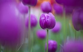 Картинка природа, фокус, красиво, фиолетовые, тюльпаны