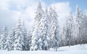 Обои зима, небо, снег, природа, обои, ёлки