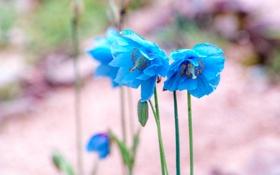 Обои цветы, голубые, меконопсис, гималайский голубой мак, Meconopsis