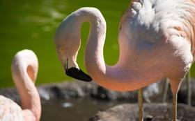 Картинка птица, фламинго, шея