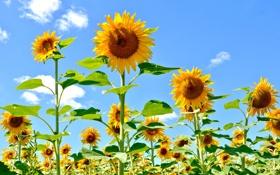 Картинка поле, небо, листья, облака, цветы, подсолнух, лепестки