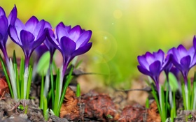 Обои цветы, крокусы, flowers, spring, purple, meadow, crocus