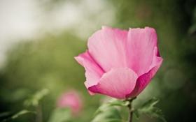 Картинка зелень, цветок, макро, природа, зеленый, розовый, цвет