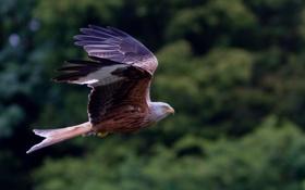 Картинка полет, фон, птица, красный коршун