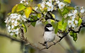 Обои ветки, птица, птичка, цветение, цветки, Каролинская гаичка, гаичка