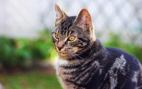 Обои кошка, взгляд, природа, размытость, серая