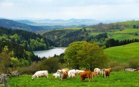 Картинка лес, горы, озеро, холмы, коровы, пастбище