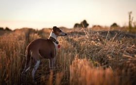 Обои поле, фон, собака