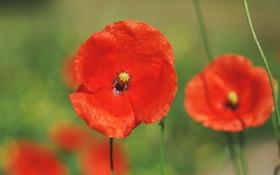 Картинка цветы, природа, поляна, маки, лепестки, красные, ярко