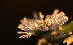 Картинка макро, цветы, роса, ромашки, растения