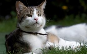 Картинка трава, кот, морда, ошейник, колокольчик, котэ