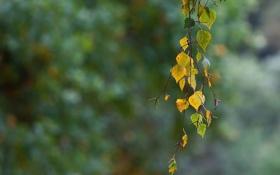 Картинка листья, ветвь, осень, берёза