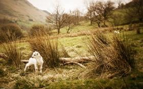 Обои животные, трава, природа, фото, пейзажи, овцы, овечки