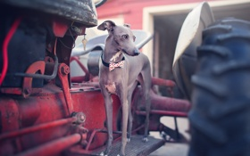 Обои взгляд, друг, собака, Italian Greyhound