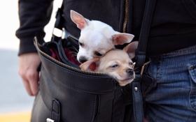 Обои собаки, сумка, друзья